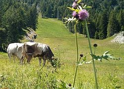 Cow having fun in the Paganella�s pastures
